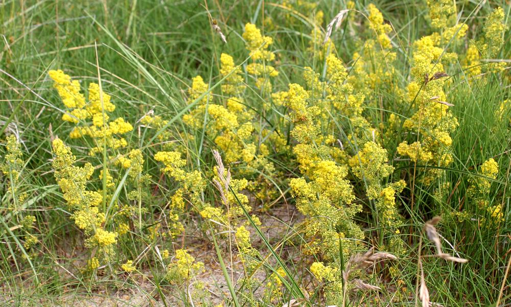 gule blomster i grøftekanten
